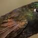 Metallura iracunda (Perija Metaltail)