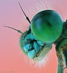 Bluetail.... (Glenn van Windt) Tags: macro nature natuur insects damselfly odonata juffer mpe65 ischnuraelegans canonmpe65f2815xmacro