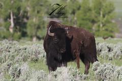 I am too damn sexy (Seventh day photography.ca) Tags: spring buffalo montana unitedstates wildlife yellowstonenationalpark wildanimal yellowstone wyoming bison ynp 2014