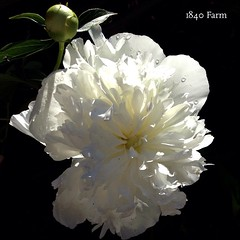 "Happy Rainy Monday!  We woke up to the sound of rain gently falling outside. We need the moisture desperately, so I plan to celebrate it by sharing this photo of our white peony bloom catching a little rain in front of the old barn. Here's hoping that you • <a style=""font-size:0.8em;"" href=""http://www.flickr.com/photos/54958436@N05/18831164771/"" target=""_blank"">View on Flickr</a>"
