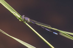 Variable Dancer, damselfly (Maryann's*****Fotos) Tags: nature insect purple connecticut damselfly clarkpark crystallake variabledancer mffotosoldsaybrook