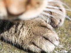 Foreleg paws under the cat's wiskers (DigiPub) Tags: m20161005