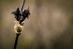 Un passo alla volta (binoguzzi) Tags: chiocciola chiocciolina natura fiore autunno macro macros macroworld lumaca lumachina bokeh fuji fujifilm fujixt10 fujifilmxseries fujixuser fujix xf60 mcex16 fujinon miniworld flikr flikrnature