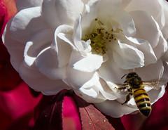 A bee on a white flower (nzosimova) Tags: bee white flower whiteflower autumn colors closeup
