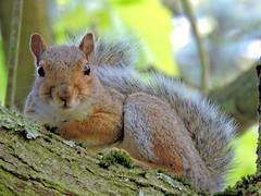 Squirrel (PhotoLoonie) Tags: squirrel greysquirrel wildanimal ukanimal britishwildanimal britishwildlife wildlife ukwildlife