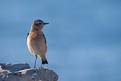 No Light (Luis-Gaspar) Tags: animal bird passaro ave chasco chascocinzento chascodomonte wheatear northernwheatear oenantheoenanthe portugal oeiras nikon d60 55300 f71 11250 iso400