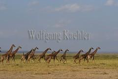 10076036 (wolfgangkaehler) Tags: 2016africa african eastafrica eastafrican kenya kenyan amboseli amboselikenya amboselinatlparkkenya amboselinationalpark wildlife mammal giraffe giraffes giraffacamelopardalistippelskirchi herd tower group