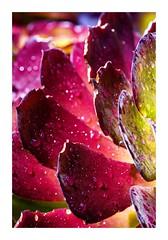 Succulent Reds (red stilletto) Tags: oakdenewinery oceangrove wallington succulent plant garden rain raindrops macro famousflickrfive