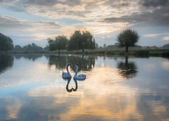 Love in Bushy Park (Colin_Evans) Tags: bushypark swan swans love romance romantic reflection reflections lake pond dawn daybreak sunrise autumn fall clouds richmond surrey england uk