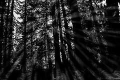 Beam of light... (pchida) Tags: sunray rays trees forest olympia onp nikonphotography photography