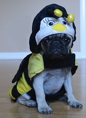 Boo The Bumble Bee Pug (DaPuglet) Tags: pug bumblebee pugs dog dogs pet pets puppy puppies animal animals bee costume halloween cute