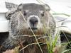 I'm cute (John Rothwell) Tags: groundhog woodchuck yard grandrapids backyard michigan city urban nature birds animals riverside