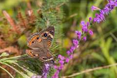 Common Buckeye (hetrickwesley) Tags: park center flowers butterfly florida gainesville morningside nature outdoors unitedstates us common buckeye insect canon 80d tamron 70300 di vc