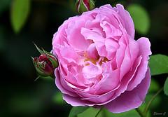 Weekend Rose (Eleanor (No multiple invites please)) Tags: rose pinkrose buds busheyrosegarden bushey uk nikond7200 september2016