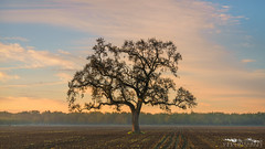 Field Boss - San Joaquin County, California (Tactile Photo | Greg Mitchell Photography) Tags: loneoak sanjoaquincounty landscape soft saturday 2016 clouds bluesky morning oaktree tree november sunrise greengrass liveoak valleyoak color plowed pastel field