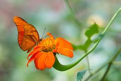 Julia heliconian (jim_mcculloch) Tags: dsc8710 butterflies lepidoptera