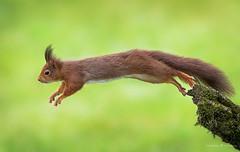 The Jump (Maximilian Fellermann) Tags: red animals tree animal green jumping wildlife squirrel wild rotes eichhrnchen sprung absprung
