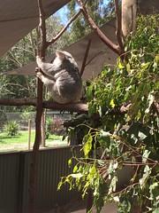 2016.10.10 Kangaroos @ Paradise Country (amydon531) Tags: baby boys kids brothers justin jarvis family toddler cute   gold coast australia trip travel vacation paradise country  kangaroos