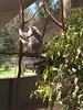 2016.10.10 Kangaroos @ Paradise Country (amydon531) Tags: baby boys kids brothers justin jarvis family toddler cute 澳洲 黃金海岸 gold coast australia trip travel vacation paradise country 袋鼠 kangaroos
