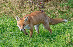 JWL5500  Red Fox.. (jefflack Wildlife&Nature) Tags: redfox fox animals animal mammal wildlife woodlands farmland forest moorland marshland meadows heathland hedgerows gardens countryside nature