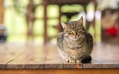 kittens (29) (Vlado Fereni) Tags: kitty kittens cats catsdogs animals animalplanet zagorje hrvatska croatia hrvatskozagorje nikond600 nikkor8518 kittysuperstar