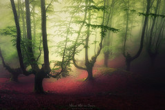 El bosque de los malditos (Mimadeo) Tags: fog foggy haze hazy mist misty mystery forest landscape leaf leaves natural nature outdoor plant darkness gloomy murky tenebrous murk mirk ominous nightmare unreal twisted trunk mysterious autumn creepy scary