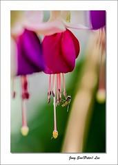 Fuchsia (jongsoolee5610) Tags: flower garden sydney australia mygarden