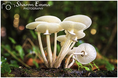 Porcelain Fungus (Oudemansiella Mucida) (Sharon Emma Photography) Tags: oudemansiellamucida porcelainfungus basidiomycete physalacriaceae slimy dripping drips beechtuft poachedeggfungus porcelainmushroom bokeh pretty fungiart mushroom toadstool fungi fungus deadwood rottingtreestump treestump moss ferns fruitbody fruitingbody spores cap gills gilledfungi flesh hymenium nature naturalworld countryside country countryfile wild wildlife ngc woodlands woods outdoor ebernoe ebernoecommon westsussex sussex england britain uk europe nikon nikond7200 d7200 sharonemmaphotography sharongoldring sharonemmagoldring sharondowphotography sharondow autumn autumncolour colour october2016 2016