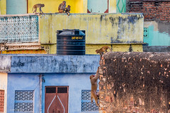 Early morning rooftop monkey migration - Bundi, India (Phil Marion (177 million views - THANKS)) Tags: rajastan india travel philmarion philippemarion masala henna tamil hindu puja punjabi hindi sikh incredibleindia ganges ghat explored explore phil marion canon5diii 5d3 canon toronto canada candid architecture street portrait landscape wildlife nature bird urban flowers macro insect nikon longexposure ontario camel skyline cityscape home sky water outside beach dog old young indoors sunrise sunset dusk fun shadows hdr snow art model feet night photograph smiling incredible notsony