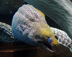 Scary Ripple Moray eel (Germn Vogel) Tags: asia eastasia china travel traveldestinations traveltourism tourism touristattractions anhui hefei underwater aquatic fish eel fauna snake animal ripplemorayeel ripplemoray creepy scary frightening tail head threatening ugly seacreature sealife