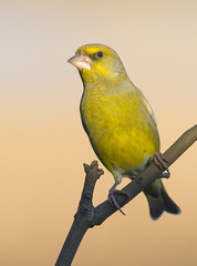 Greenfinch (Margaret S.S) Tags: european greenfinch male