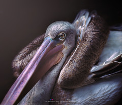 Brown Pelican (Ah Wei (Lung Wei)) Tags: brownpelican nature animals wildlife ahweilungwei nikond750 nikon nikon50mmf18g inexplore penangbirdpark portrait bird
