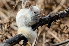 Adorable leucistic red squirrel (Claudine Lamothe) Tags: animals captourmente defect otherkeywords places quebec quebeccity redsquirrel rodentia