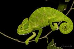 chameleon (AkDExplorer) Tags: green reptile chameleon karnataka bangalore india prehensile ngc