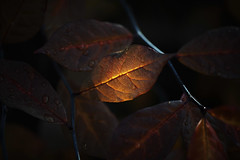 Leaf Aglow (Joseph Eckert) Tags: leaf leaves fall autumn pattern detail orange red yellow light glow aglow shadow nikon d800e nikond800e zeiss 135mm f2 apo sonnar zf2 zeiss135mm zeiss135mmf2 c1 capture one pro 93 captureonepro