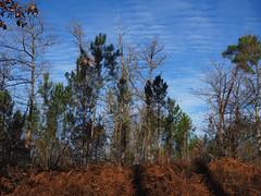Pin en automne (Cognacpomme (17 souche 44) ) Tags: olympus pin ciel bleu automne nuage calme extrieur arbre plante fougre