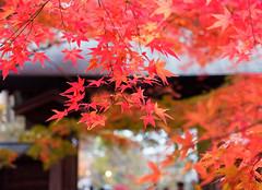 Kuhonbutsu Joshinji (Nana* <salala817>) Tags:  temple japan fall fallfoliage tokyo autumn maple red  tree trees
