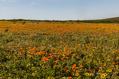 Orange Flowers on the West Coast of South Africa (grobler.inus) Tags: west biodiversity coast environment flowers fynbos green landscape nature orange plants sky southafrica
