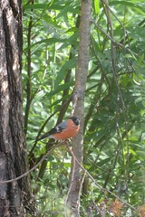 Petit oiseau rouge (Bn Lefort) Tags: bird oiseau rouge finlandia finlande wild sauvage red