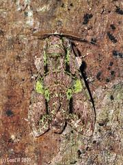 Oxoia smaragdiplena (f), Notodontidae Cerurinae (Green Baron Pro) Tags: 200902 frasershill moth lep jelaibungalow notodontidae malaysia