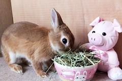 Ichigo san 477 (mensore) Tags:  rabbit bunny netherlanddwarf brown