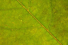 Leaf (Shaun Thirkettle) Tags: leaf canoneos5d canonef50mmf14 extentiontubes macro