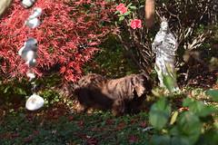 Link (Tobyotter) Tags: link dachshund chocolatelonghair