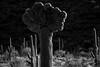 Crested Saguaro Cactus (jswensen2012) Tags: arizona cactus sonorandesert desert saguaronationalpark cristatesaguaro crestedsaguaro saguarocactus