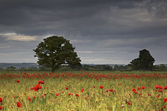 Poppy field, East Yorkshire. UK (Wend's photography) Tags: britain england flowers flower english landscape photography rural scenery summer sunset evening poppy poppies field