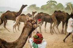 Care | Pushkar camel fair,Rajasthan. (vjisin) Tags: pushkar rajasthan india iamnikon nikond3200 asia camel incredibleindia indianheritage travelphotography pushkarcamelfair pushkar2016 2016 herder camelherder outdoor riding animal care nikon explore inexplore