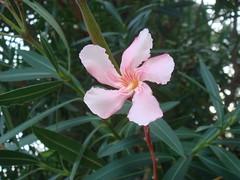Oleander at Limone (Abbey_L) Tags: flower italia italy lagogarda lakegarda limone oleander tjpio