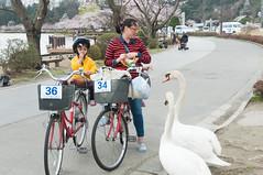 Unexpected encounter (Wunkai) Tags: mitoshi ibarakiken japan     swan  bicycle