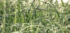 Bokeh on Water drops (ajanth.v) Tags: bokeh water drops plants green grass morning misty nikon d7100 18140mm jaffna srilanka