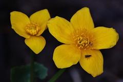 Flower (Hugo von Schreck) Tags: hugovonschreck wildflower wikdblume blume flower macro makro outdoor canoneos5dmarkiii